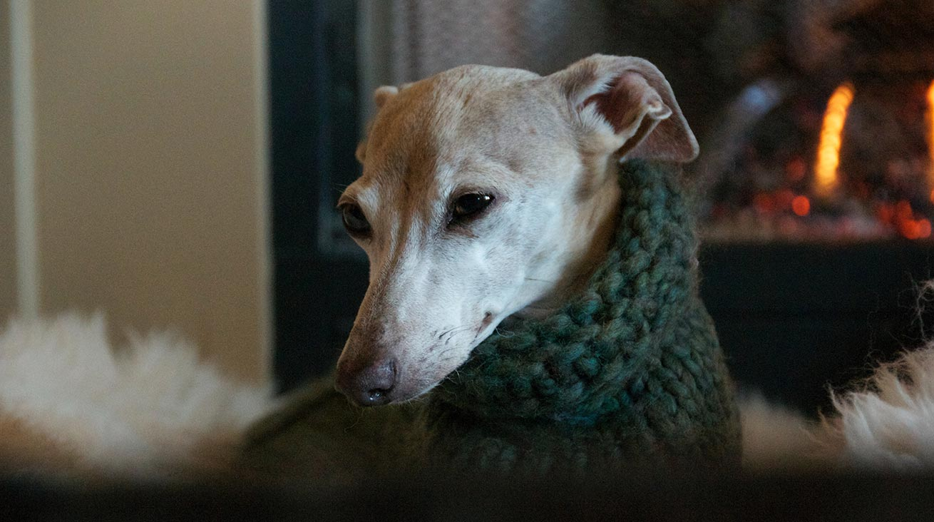 Chiara, an Italian Greyhound, wearing a hand-knit wool sweater. Photo: Brian Taylor / Unsplash