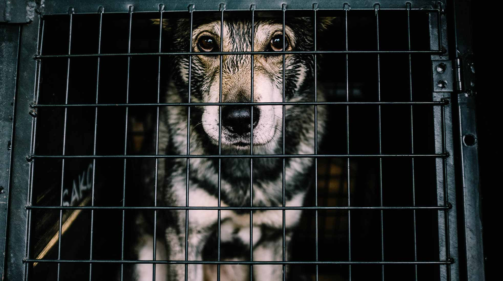 A black and grey dog in a cage