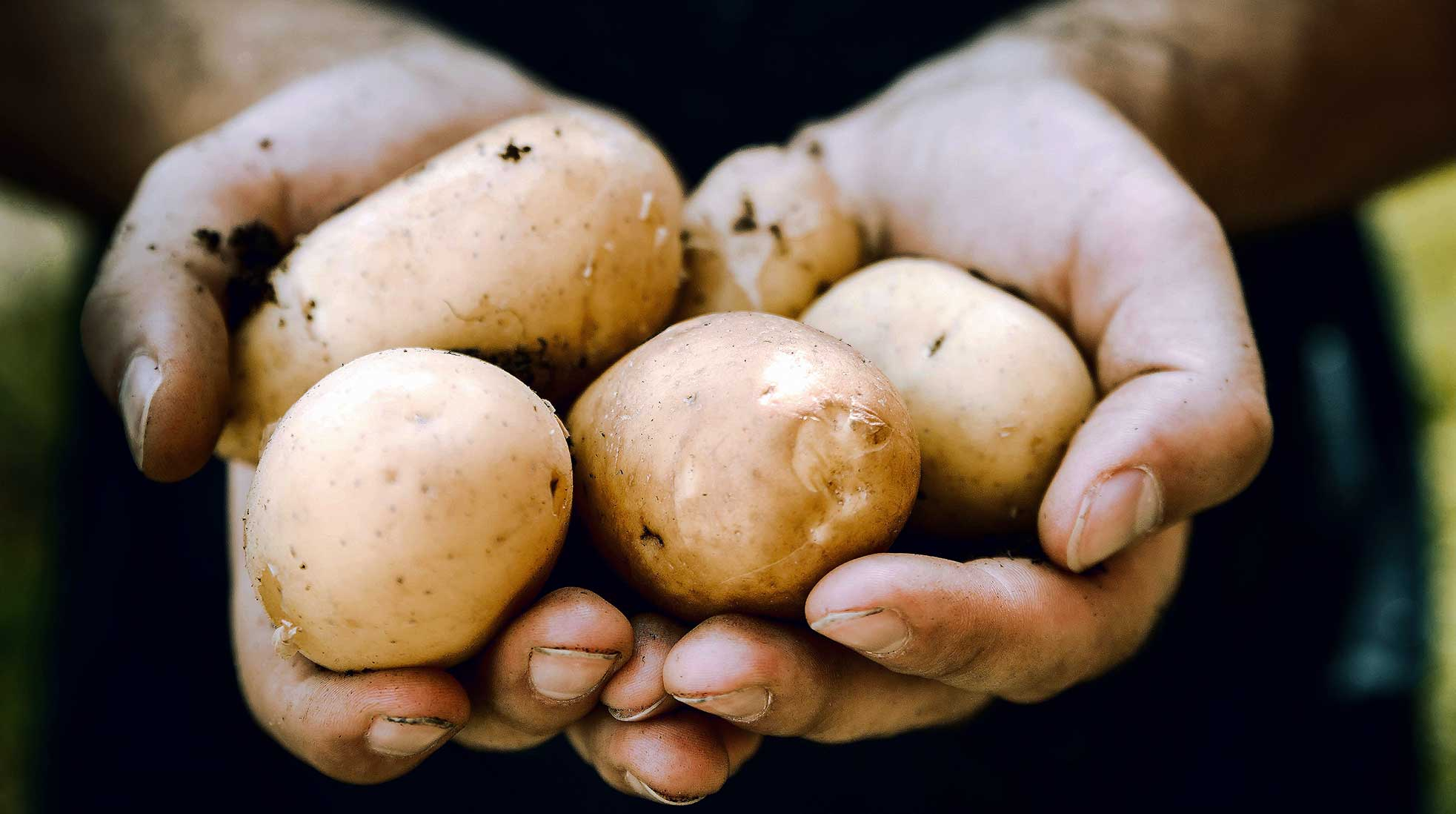 Two hands holding dirty potatoes