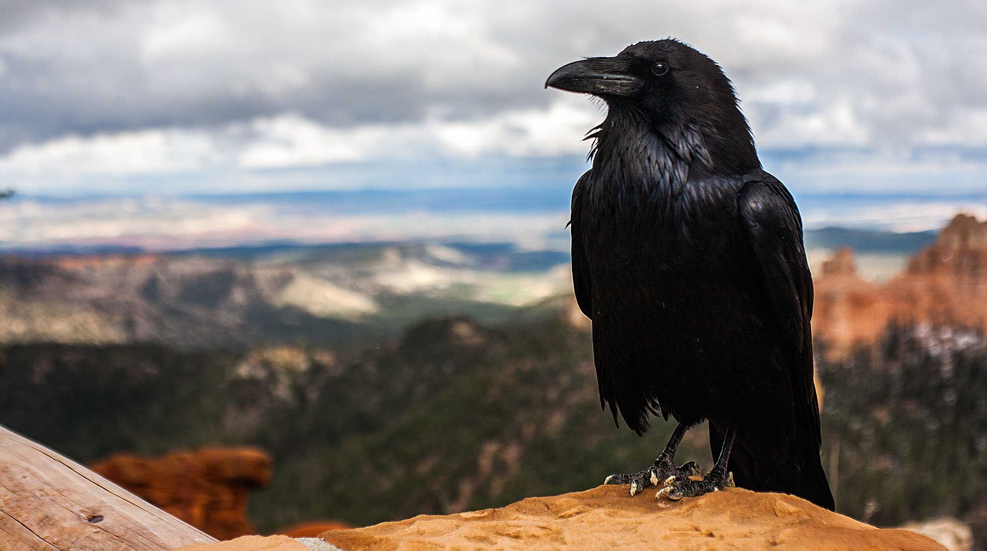 A raven looking out over a mountainous landscape