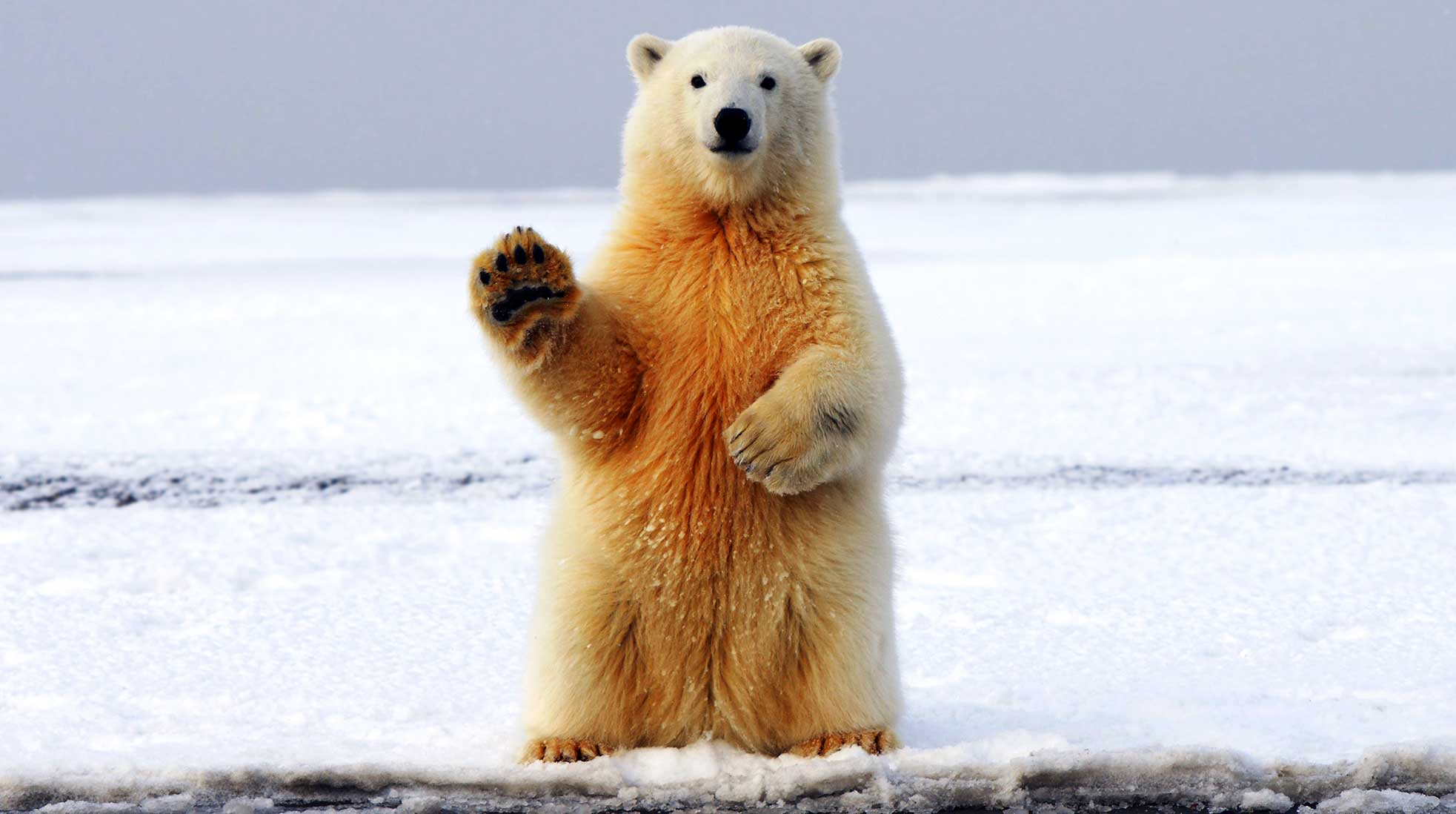 A polar bear says hi. Photo: Hans-Jurgen Mager / Unsplash